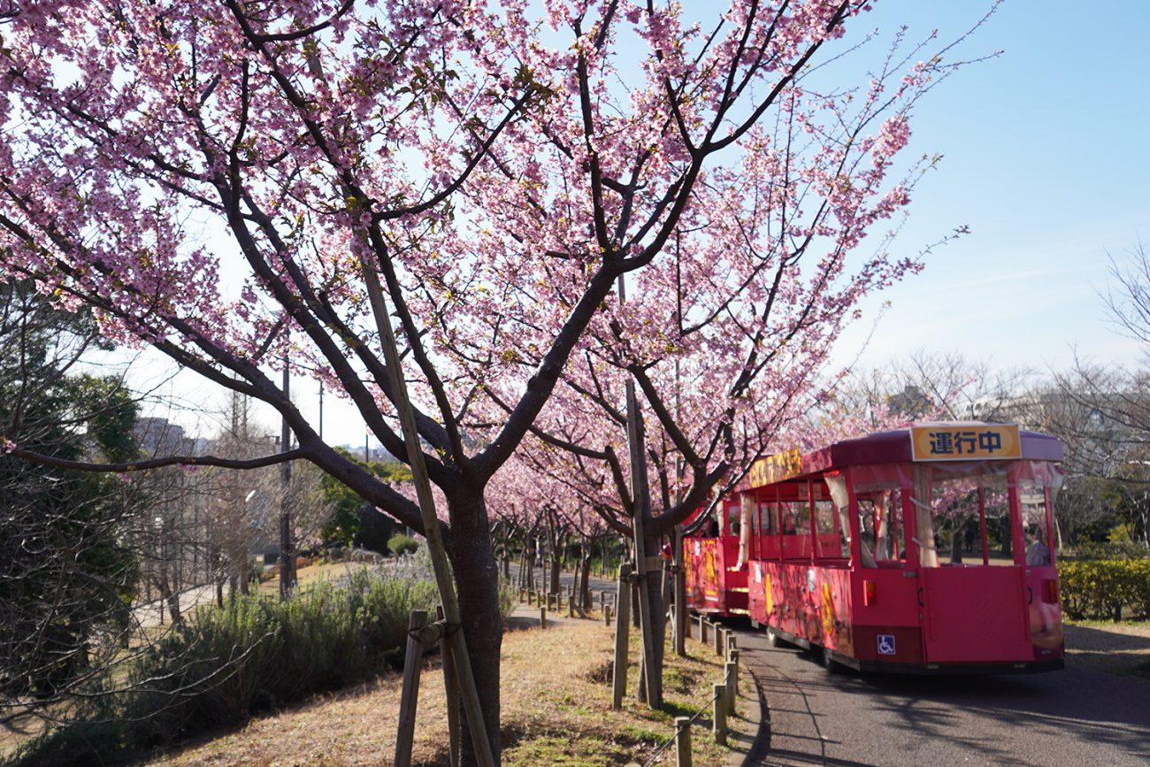 画像 なぎさ公園の河津桜 2021年