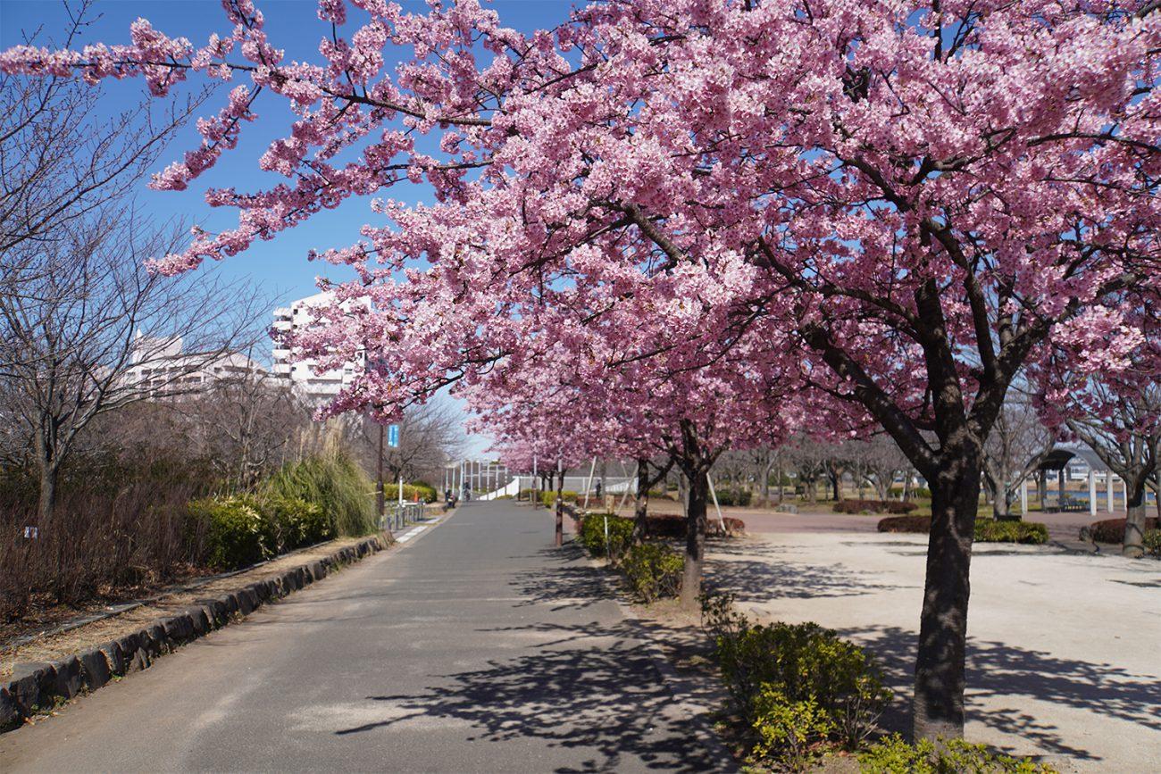 画像 小松川千本桜の河津桜 2021年