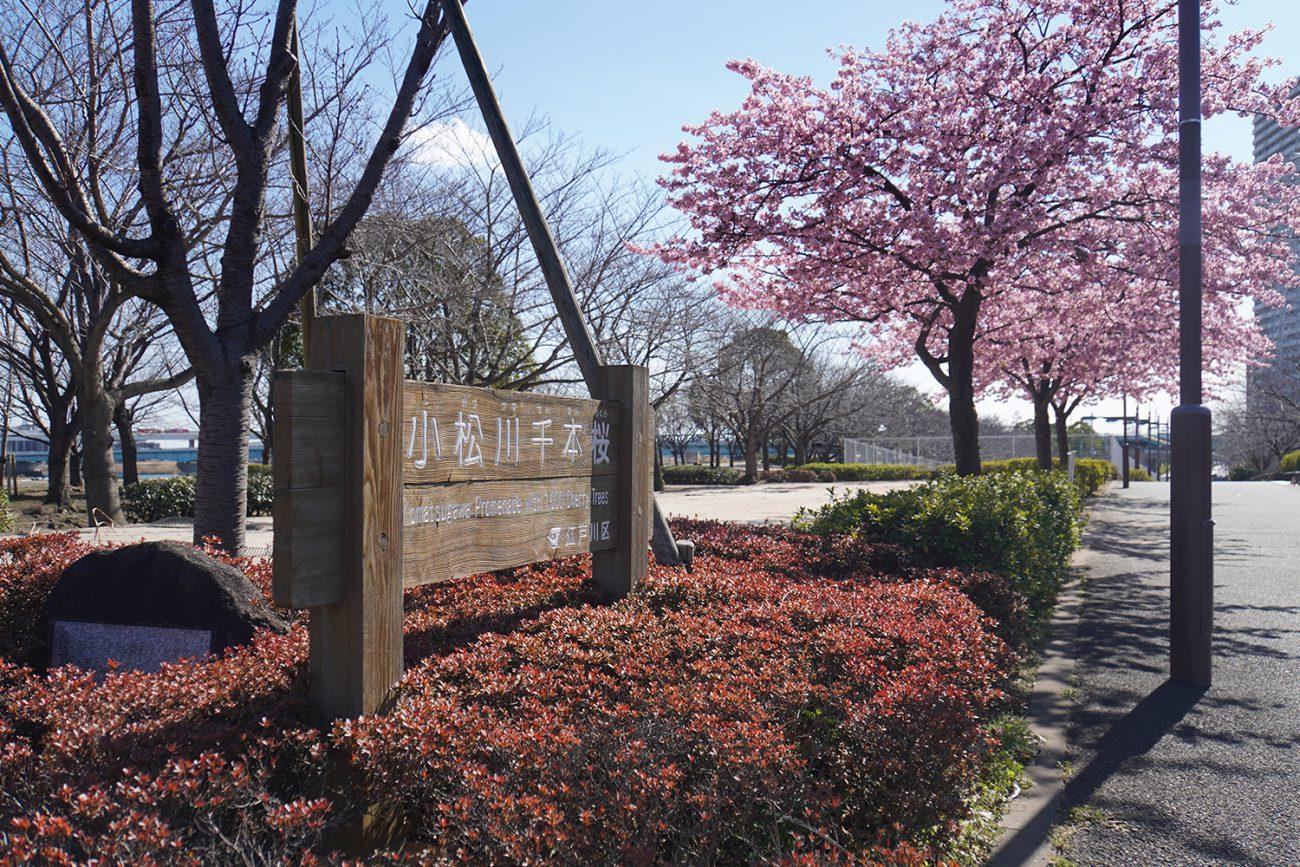 画像 小松川千本桜の河津桜 2021年2月