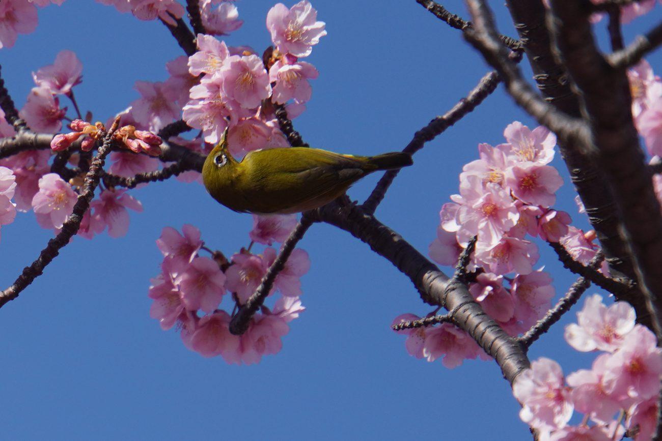 画像 小松川千本桜の河津桜のメジロ 2021年