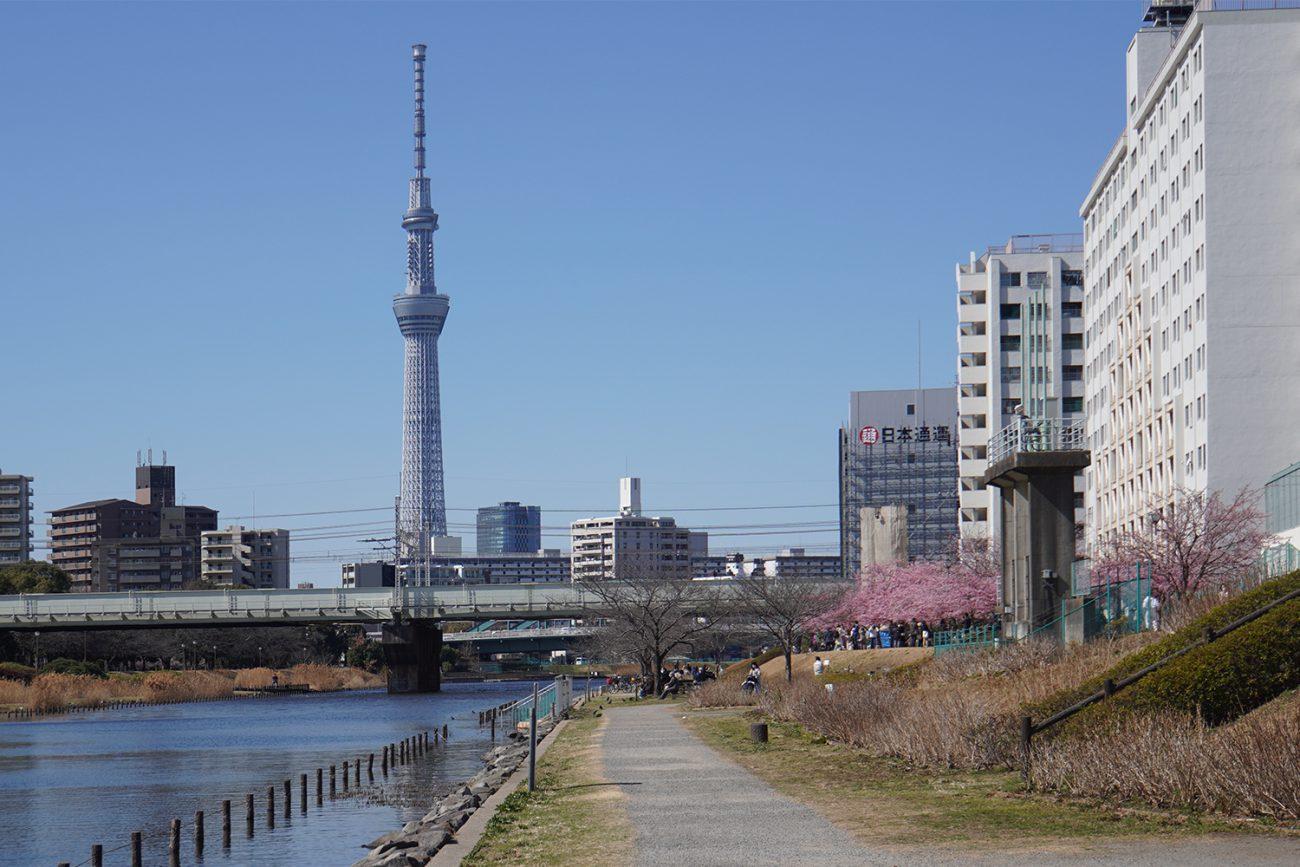 画像 旧中川沿いの河津桜 カワヅザクラ 2021年