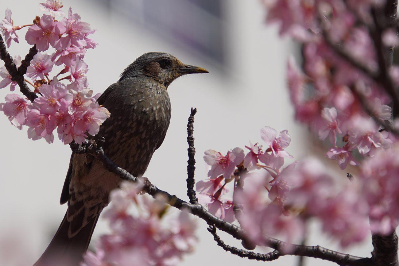 画像 旧中川沿いの河津桜のヒヨドリ 2021年